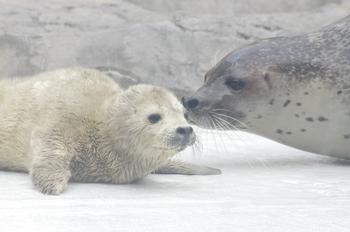 2015年4月18日(土)男鹿水族館GAO・ゴマフの仔・K3保存用 173.jpg